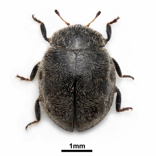 A picture of the Rhyzobius forestieri beetle found by Anders, only the second of its kind to have been recorded in Britain (photograph by Harry Taylor)