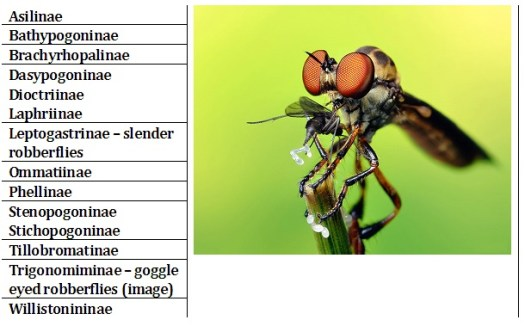 Subfamilies within Asilidae (image is Tigonomiminae © Thomas Shahan)
