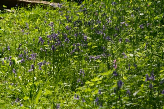Bluebells in our Wildlife Garden