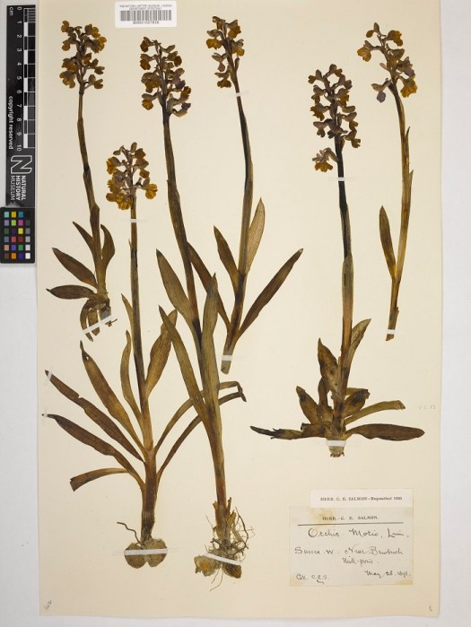 A herbarium sheet of green-winged orchid (Anacamptis morio)