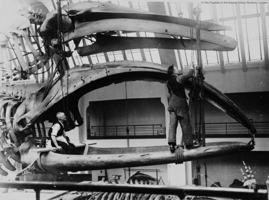 Archival photo of the bowhead whale being installed showing a member of staff standing on the jawbone while working