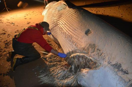 Photo of Rob Deaville using measuring tape on the underside of fin whale.