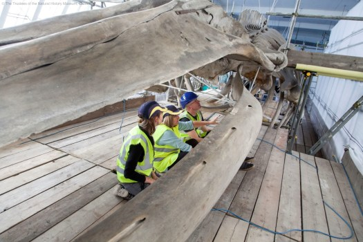 Photo showing conservators investigating the inside of the whale's mouth parts