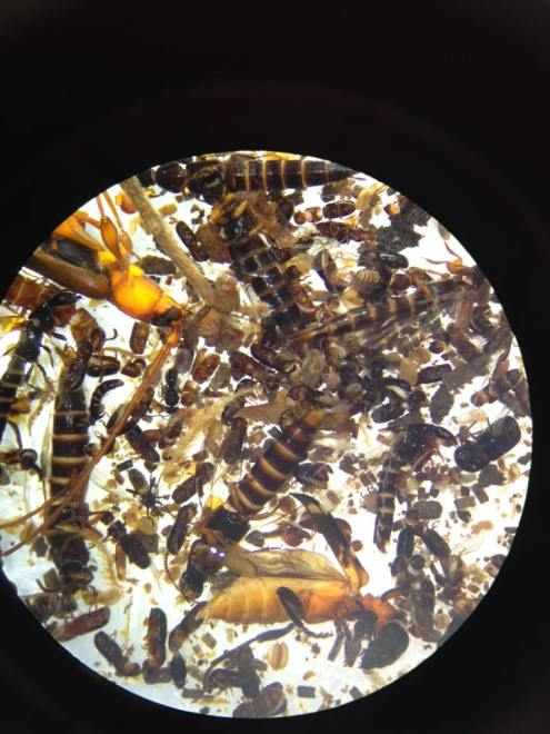 Photo of the view down a light microscope of the contents of the trap
