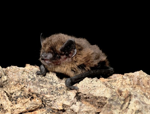 Photo of a bat lying on bark