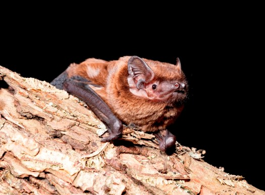Photo of the bat resting on a log