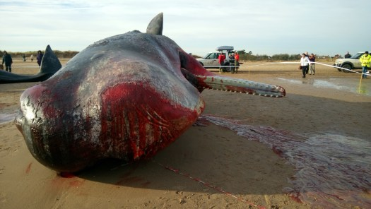Bloodied head and open mouth of a sperm whale, lying on a beach.