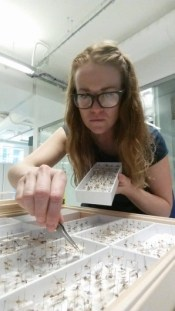 Photo showing a seated Chloe pinning insects into a drawer