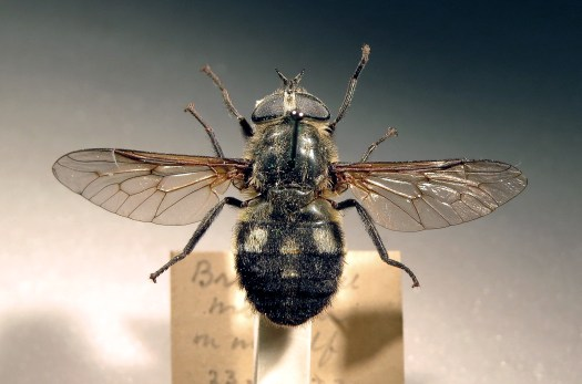 Photo showing the pinned female from above, with wings splayed