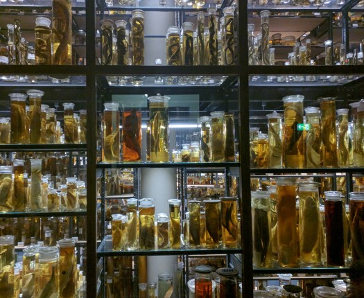 Photo showing the spirit collection at the Berlin museum - shelves of sealed specimen jars with fish and other animals preserved within