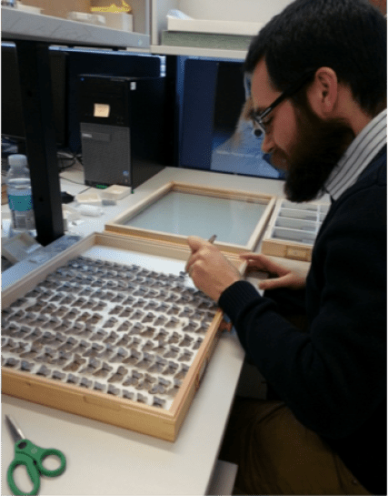 Photo showing a man in the process of manipulating one of the butterflies in a drawer during the digitisation workflow.