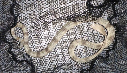 Close-up of Hydrophis peronii in a net