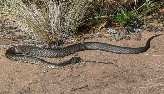 Photo of a tiger snake
