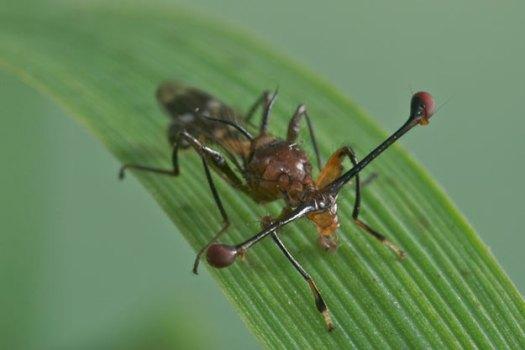 stalk-eyed-fly