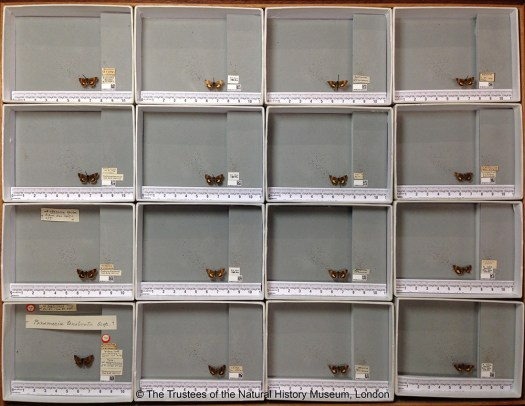 Photograph showing a 4 by 4 grid of drawers, each containing a specimen, ruler, QR code and text based labels. The bottom left drawer also includes the Type specimen with its labels