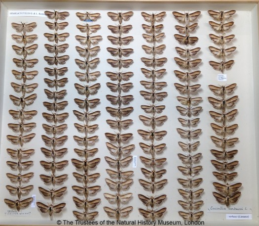 Photograph from above of a drawer filled with vertical columns of the butterflies pinned to the base, with paper labels in the top and bottom left, and the bottom right.
