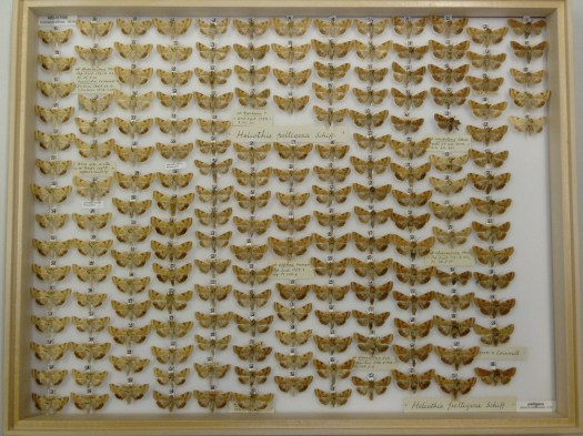 Photo showing a near full drawer from above of several columns of specimens of the same species of butterfly with text and digital labels throughout