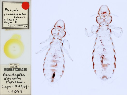 Image of a microscope slide and high resolution image of lice found on a bird