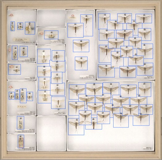 A full drawer image of Mayflies with the boundary boxes around each specimen