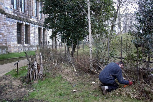 Photo with a man crouched down in the bottom right of the image, using a tool to put a trimmed stick into place in the hedge he is laying. To the left the edge of the northwest corner of the Museum is visible, and trees fill the centre and far right of the image.