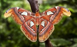 An Atlas moth in Sensational Butterflies