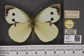 A large cabbage white (Pieris brassicae) from the Museum's collection.