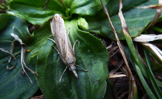 Photo showing the brown coloured moth at rest on a leaf. It's wings fold over its abdomen giving it a long, narrow shape.