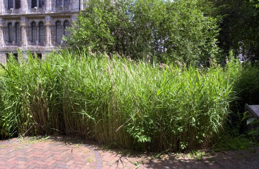 Photo showing the reed bed in the garden, with a brick path in front, a partial row of trees behind and the south west corner of the Museum building in the background.