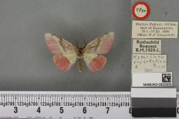 Hylemera euphrantica