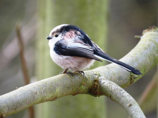 5 Long-tailed-tit