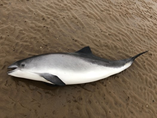 harbour porpoise Steve Williams