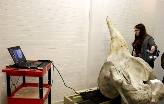 Photograph of the skull of Northern bottlenose whale (Hyperoodon ampullatus) being 3D surface scanned.