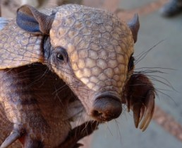 A living armadillo, showing its keratinous armour that is underlain by bony plates like those of the glyptodon. © Paul Bahn