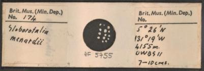 Microscope slide from the Buckley Collection showing Foraminifera of the species Globorotalia menardii