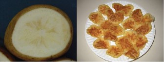 Potato crops infected with the zebra chip disease