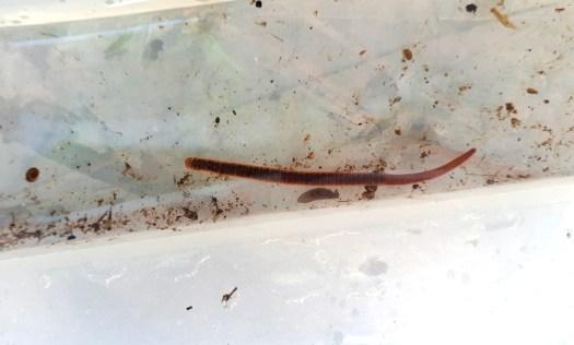 Erpobdella octoculata – leech