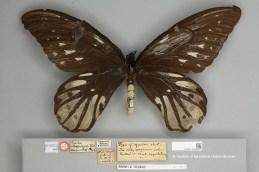 Ornithoptera alexandrae type specimen collected by A.S.Meek and described by Walter Rothschild in 1907.