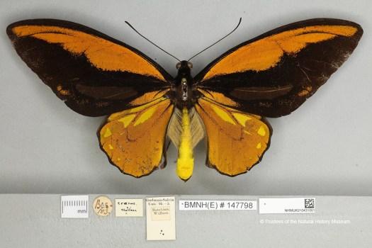 Wallace specimen of Ornithoptera croesus