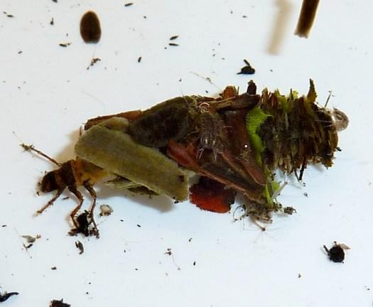 A Caddis Fly case