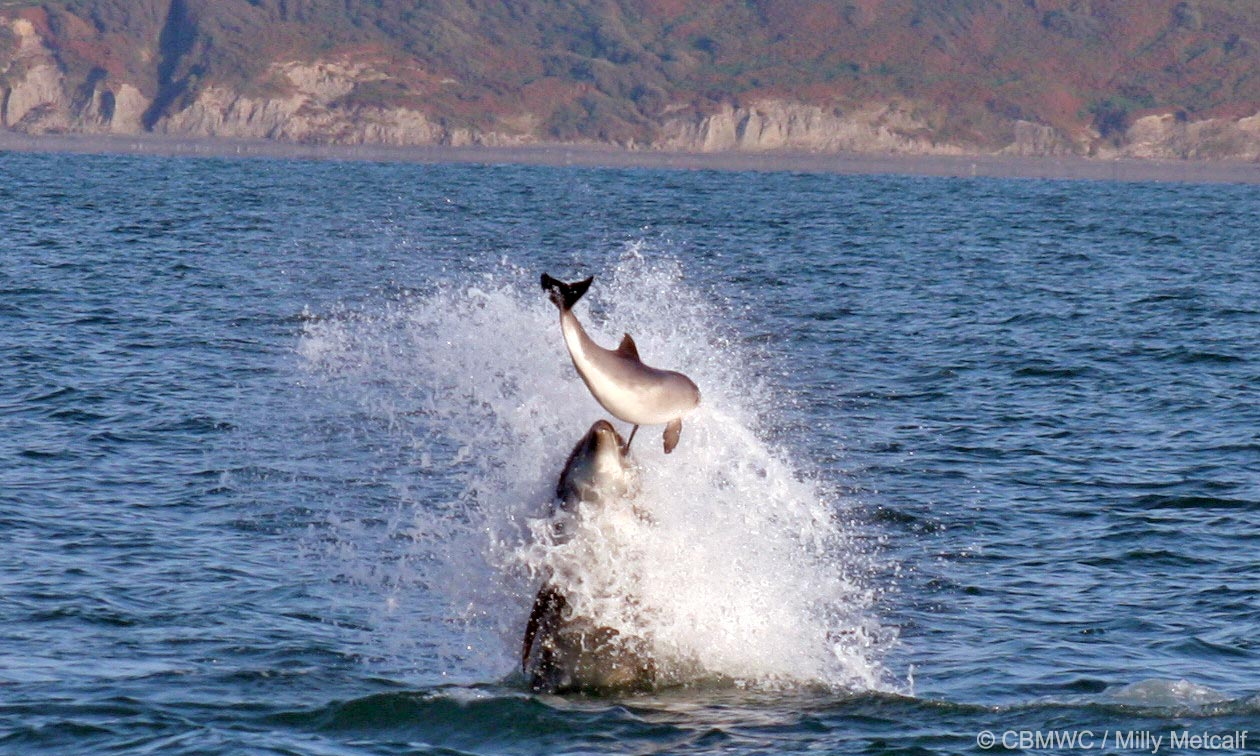 Bottlenose dolphin hitting a harbour porpoise out of the water in an attack