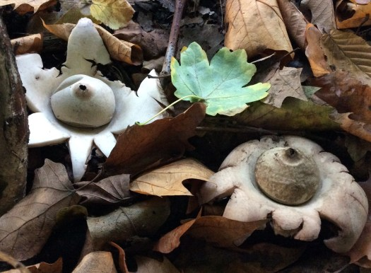 collared earthstar mushroom