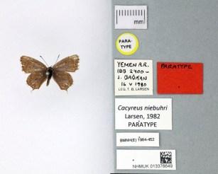 The Museum's image of the paratype specimen of Cacyreus niebuhri