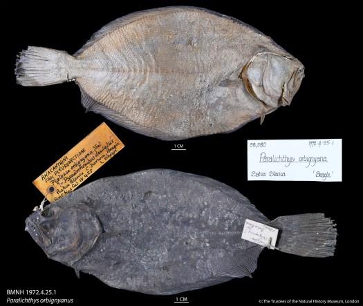 BMNH 1972.4.25.1 Paralichthys orbignyanus small.1500x2957