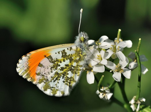 Photograph of a male Orange-tip butterfly (Anthocharis cardamines) on a flower.