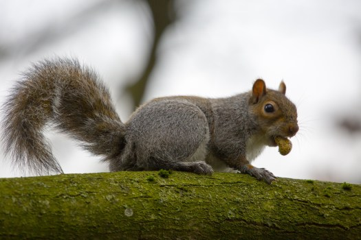 Photograph of a Grey squirrel (Sciurus carolinensis) on a tree with a nut in it's mouth.