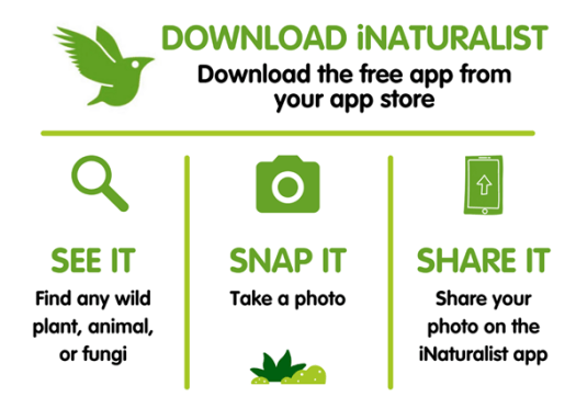 iNaturalist green bird logo with text: download iNaturalist - download the free app from your app store. Magnifying glass icon with text: see it, find any wild plant, animal, or fungi Camera icon with text: snap it, take a photo Mobile phone icon with text: share it, share your photo on the iNaturalist app
