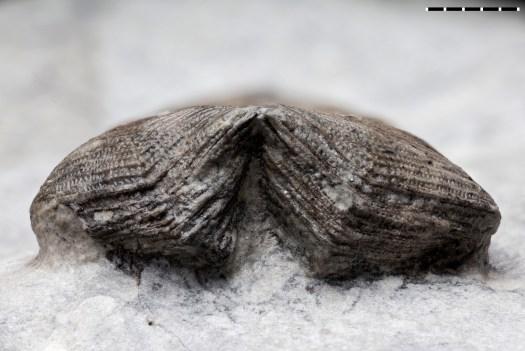 Aperture of Conularia aff. cancellata from the Macrourus Limestone of Brandenburg (NHMUK PI CL 1325).