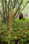 The beautiful bird's-nest orchid, (Neottia nidus-avis) in woodland