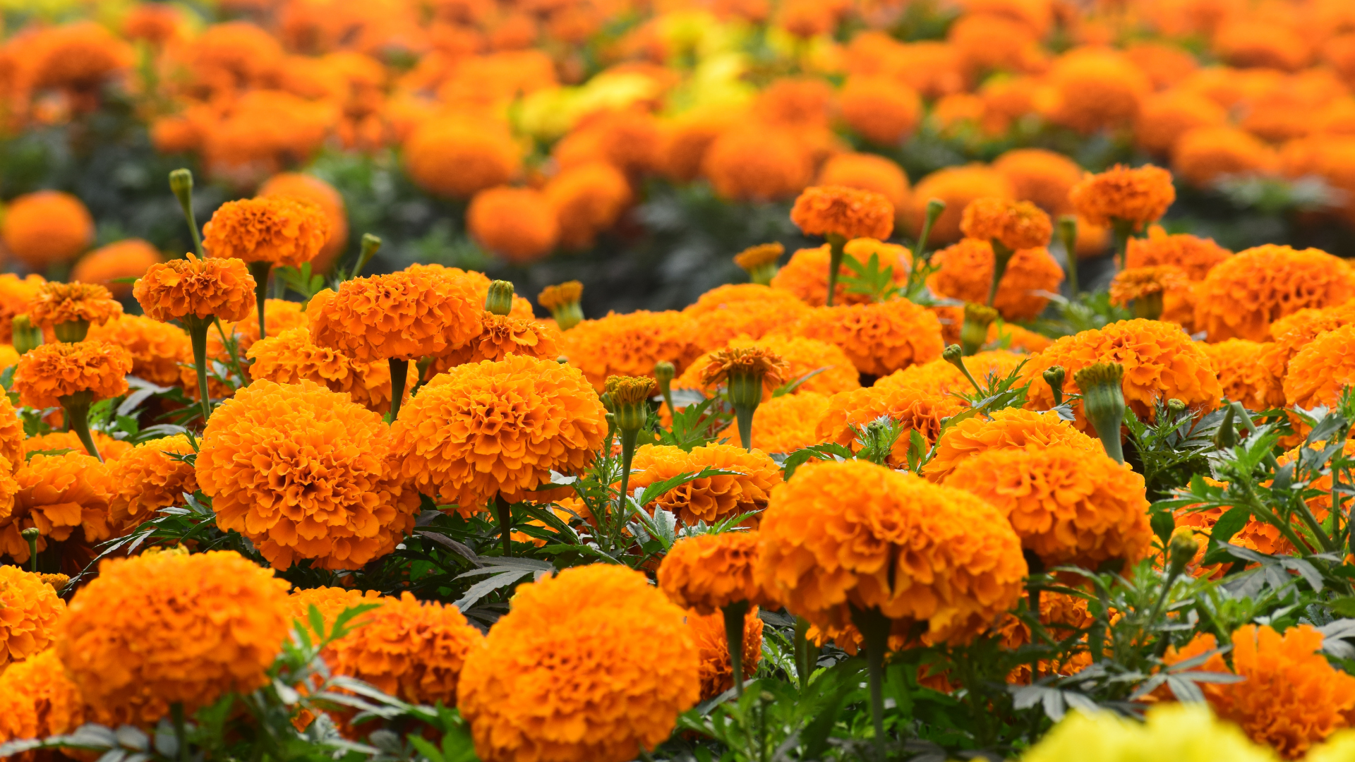 marigold health benefits and home remedies