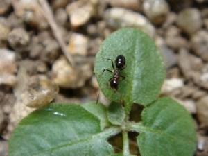 葉っぱの上のアリ